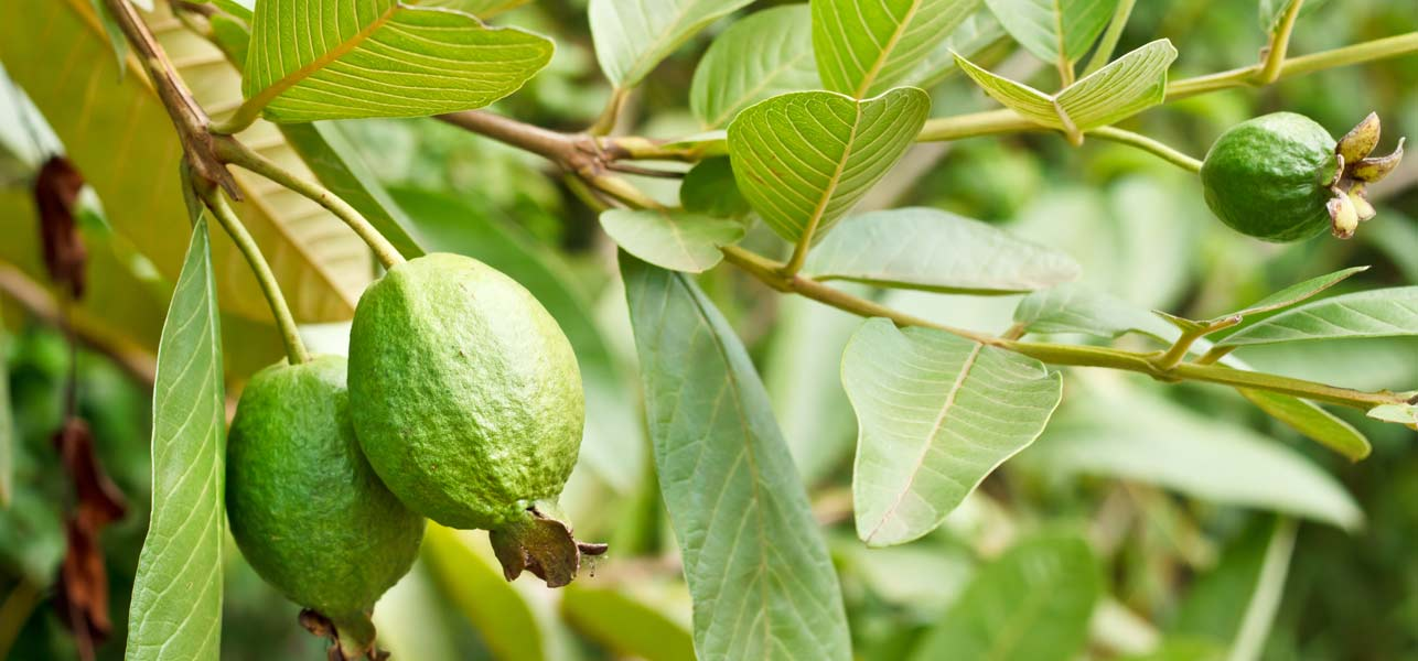 Guava-Leaves-