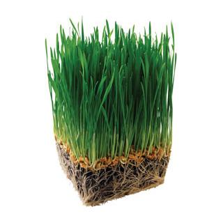 Barley-Grass-